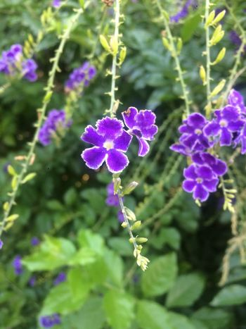 Verano en Buenos Aires ❤️❤️ Flower Fragility Growth Nature Beauty In Nature Plant Purple Day Freshness Petal Outdoors Focus On Foreground Flower Head Close-up