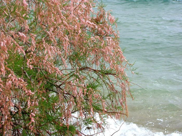Urban Spring Fever Tamarisk Tree Sea Tree And Sea Yeah Springtime! Blooming Blossom Red Blossom Greenery Seascape Seaside Sea View Shades Of Blue Shades Of Red Tranquil Scene Tree Branches Blue Wave Nature Beautiful Nature Beauty In Nature Tree And Water Waves Tree And Waves Blue Sea