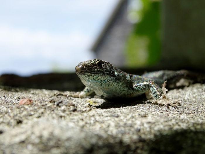 Animal Photography EyeEm Best Shots Iguana Reptile Lizard Animal Themes Close-up Animal Scale