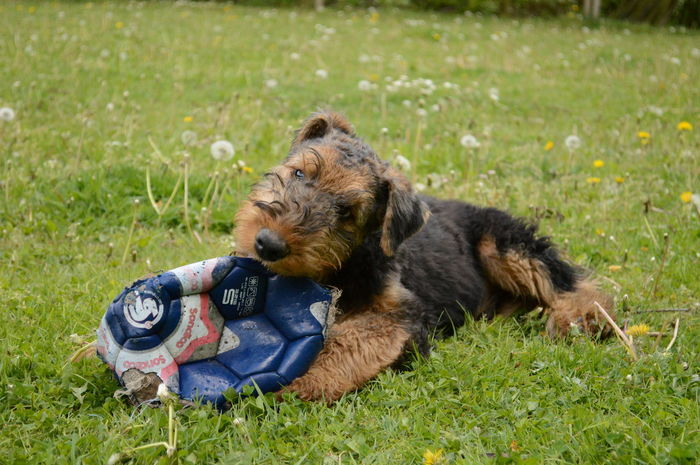 Adorable Puppy Airedale Airedaleterrier Animal Ball Dog One Animal Puppy Love