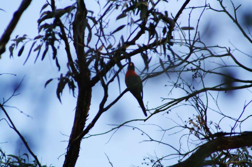 Rainbowlorikeet Bird Photography Bird Australia