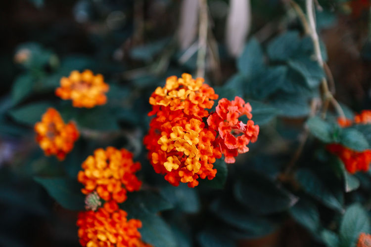 Flowering Plant Flower Fragility Plant Vulnerability  Freshness Beauty In Nature Close-up Growth Petal Lantana Nature Inflorescence Flower Head Focus On Foreground Orange Color Day Marigold Plant Part No People Outdoors Bunch Of Flowers Plant Growth Tree Nature Beauty In Nature Nature Photography