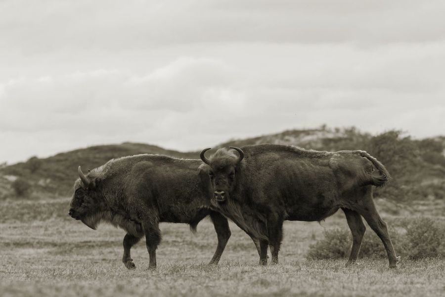 Black And White Monochrome Wisent European  Bison Dunes Of Holland Animal Animal Themes Mammal Animal Wildlife Animals In The Wild Side View Nature
