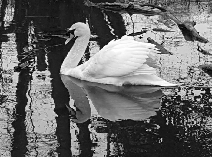 The Swan Water Reflection Vertebrate Bird Lake Animal Nature