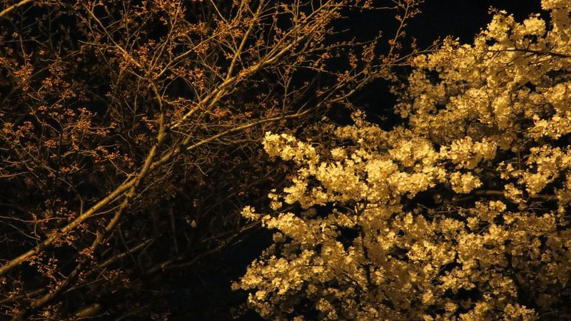 Urban Spring Fever From My Point Of View March Spring Simplicity Simple Photography Tree TreePorn Light And Shadow Flowers,Plants & Garden Nature_collection Spring Has Sprung Color Photography Gold Night Photography Nightshot Chery Cherry Blossoms Sakura Half And Half