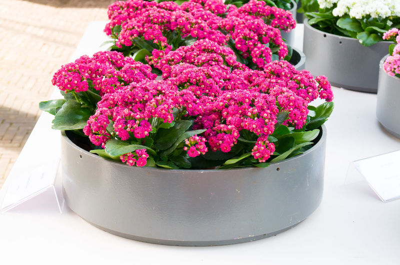 High angle view of pink flower pot on table