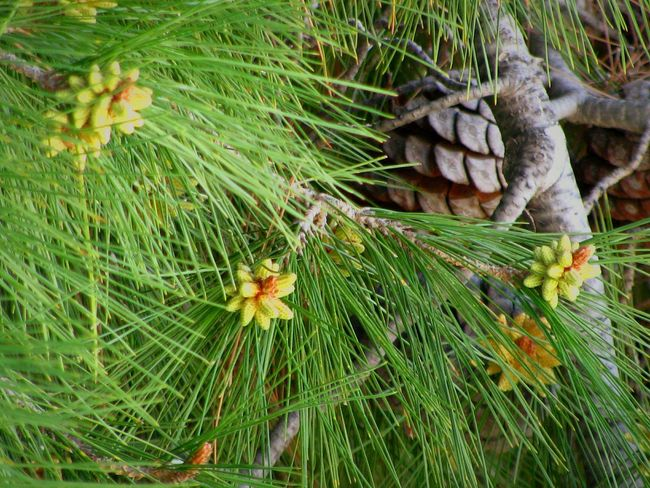 spring Wood Tree Branch  Pine Pine Needles Pine Flower Tree Spring Spring Flowers Springtime Close-up Green Color Plant Needle - Plant Part Growing Pine Cone Pine Tree Pine Wood Blooming In Bloom