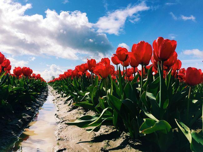 Eye4photography  EyeEm Best Shots Flowers Tulips EyeEm Best Edits