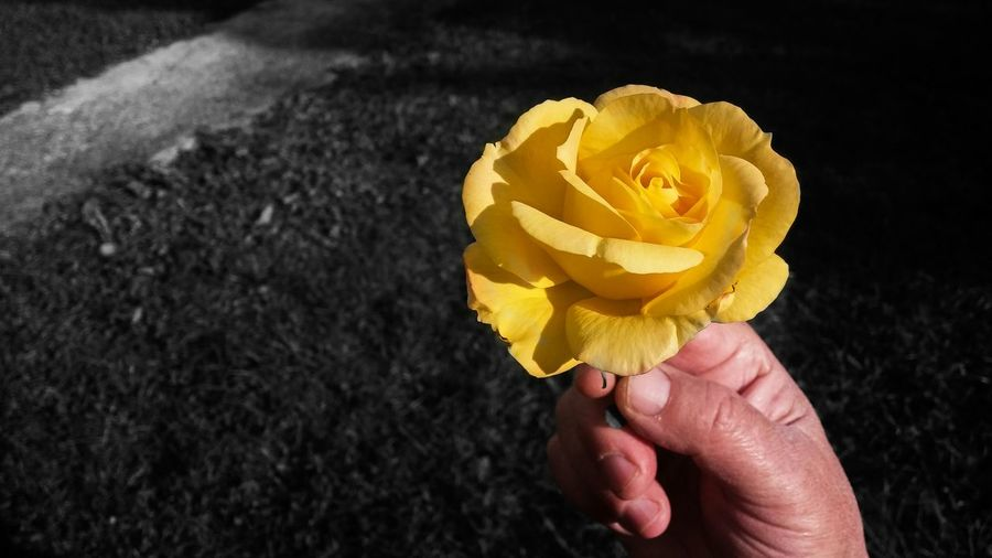 Cropped hand holding yellow flower