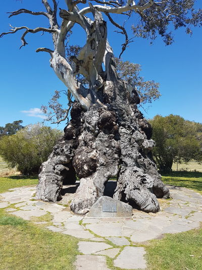 Tree No People A Family Lived In This Tree And It Was Used By Aboriginal People For Shelter