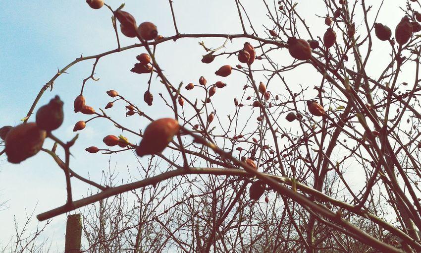 Garden Csipkebogyó Kert Rosehip