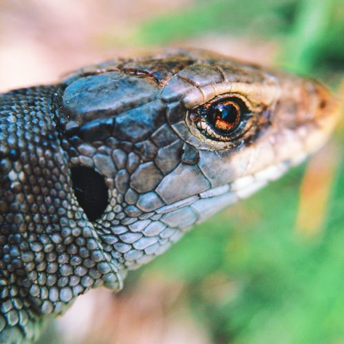 Pet Portraits Animal Head  Animal Themes Animal Wildlife Animals In The Wild Close-up Day Eyeball Focus On Foreground Nature No People One Animal Outdoors Portrait Reptile Wild