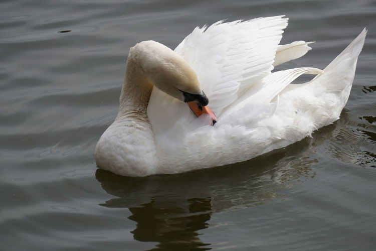 High angle view of white swan preening in lake