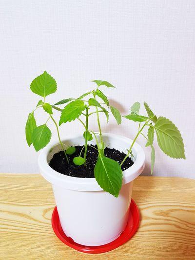 Perilla Leaf Pot 깻잎화분 깻잎 Potted Plant Pot Perilla Leaf EyeEm Selects Mint Leaf - Culinary Leaf Herb Studio Shot Drink White Background Mojito Plant Close-up Green Color Houseplant