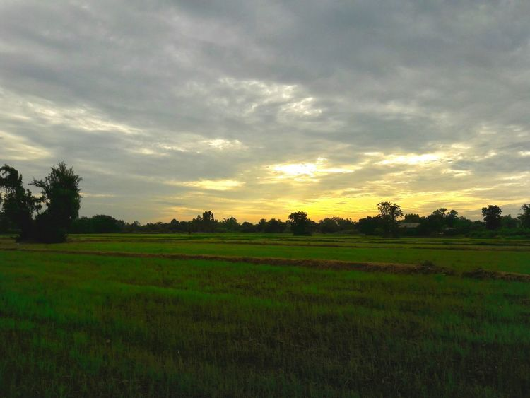 Rice Paddy Field Agriculture Landscape Rice - Food Staple Rice - Cereal Plant Nature Social Issues Tree Outdoors Sunset Cereal Plant No People Freshness Food Beauty In Nature Day Sky