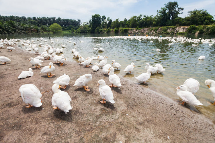 Real white duck in a farm with pond No People Day Nature Duck Ducks Duckling Ducks At The Lake Real People Farm Group Of Animals Bird Large Group Of Animals Animal Animal Themes Vertebrate Animal Wildlife Water Animals In The Wild Lake Tree White Color Plant Poultry Beauty In Nature Flock Of Birds