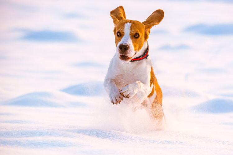 Portrait of dog running in snow