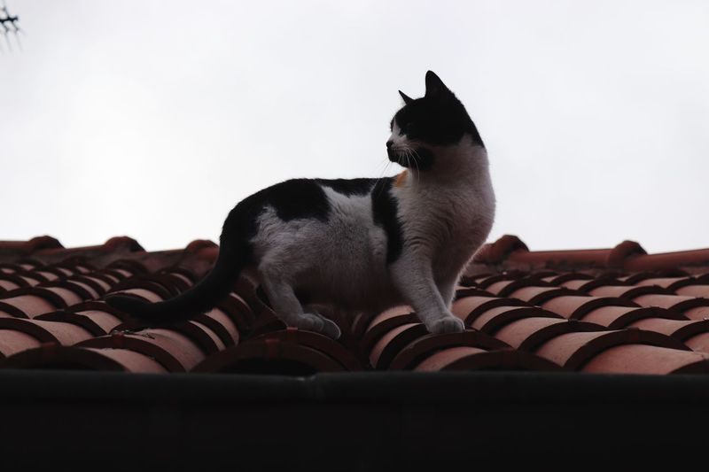 Alone cat Outdoors Domestic Domestic Animals Pets Animal Themes One Animal Mammal Animal Cat Roof Feline Day Architecture No People