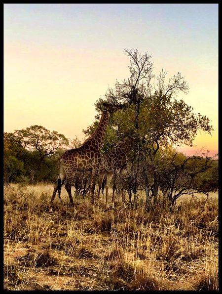 Wildlife & Nature Giraffes South Africa