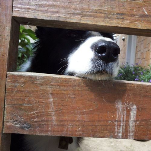 Brandy ! Thecutestdog Brandy EnglishSheepdog Love