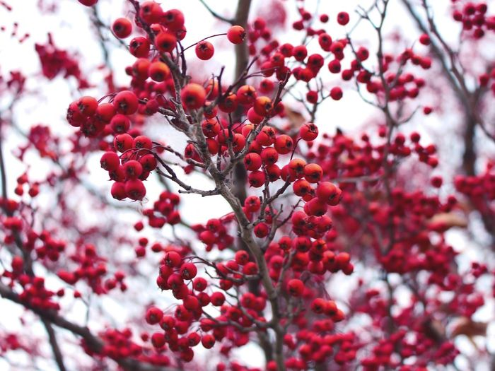 Close-up of red berry fruit growing on tree