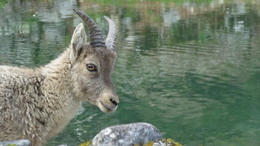 Animal Themes Animal Wildlife Animals In The Wild Capricorn Close-up Day Focus On Foreground Goat Lake Mammal Nature No People One Animal Outdoors The Great Outdoors - 2017 EyeEm Awards Water