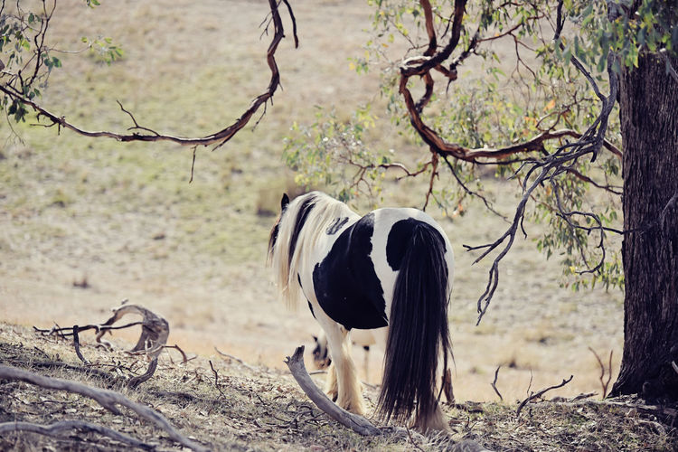 Rear view of gypsy horse by tree on field