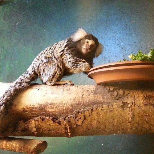 Naaaw Monkey Osloreptilpark @osloreptilpark