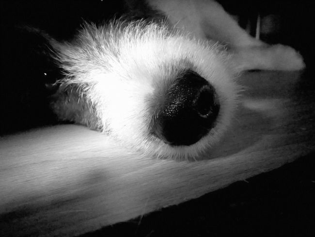 Our dog under the couch... Animal Themes Black And White Close-up Dog Domestic Animals Indoors  Jack Russell Terrier Lumia925 Mammal One Animal Pets
