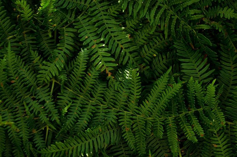 Nikon Backgrounds Beauty In Nature Close-up Coniferous Tree Day Fern Ferns Foliage Freshness Full Frame Green Color Growth Inspiration Leaf Lush Foliage Nature No People Outdoors Pine Tree Pine Woodland Plant Plant Part Tranquility Tree