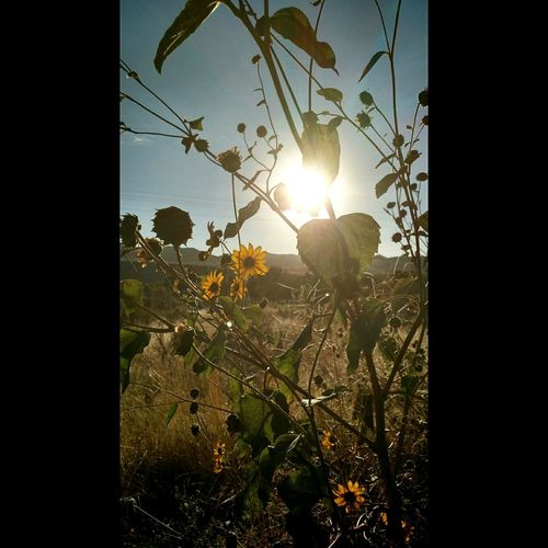 Sunflowers make my soul smile! Taking Photos Hello World Hanging Out Enjoying Life LastLife Winteriscoming November Autumn Colors Autumn Pocatello Light Idaho Idahoexplored Idahome Sunset Beautiful Idaho AtPeace Lovely Sunflowers🌻 Flowers