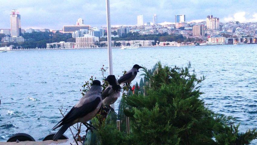 Istanbul Turkiye Uskudar Bosphorus Ravens !