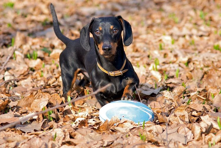 Link quarterback Dog American Football Pets Daschund Outdoors Leaves Ball