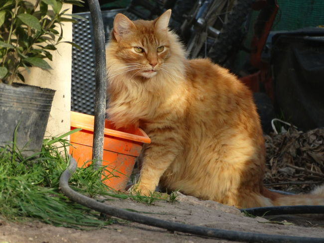Domestic Cat Pets Domestic Animals One Animal Feline Animal Themes Mammal Sitting Front Or Back Yard No People Portrait Looking At Camera Outdoors Plant Day