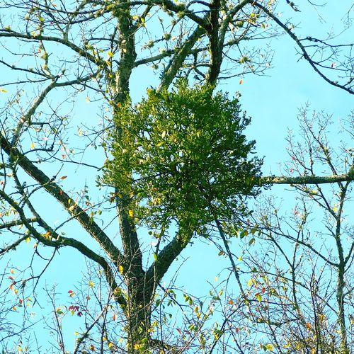 Mistletoe Mistletoe Tree Mistletoe Ball Mistletoes Mistletoe Berries Mistletoe In Tree United States Of America USA Under The Mistletoe Holidays Holiday Holiday Season Tree Growth Outdoors Nature
