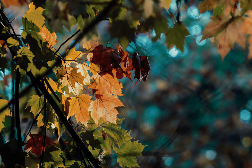Some boring autumn colors Leaf Plant Part Autumn Plant Focus On Foreground Beauty In Nature Change Growth Nature Close-up Tree Day Vulnerability  Fragility No People Leaves Outdoors Orange Color Branch Dry Natural Condition Maple Leaf Autumn Collection