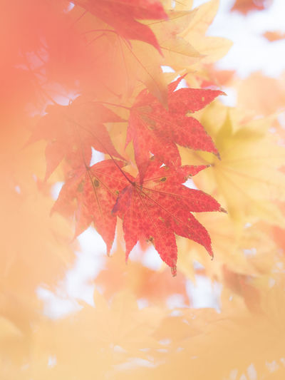 Autumn Leaf Change Plant Part Orange Color Beauty In Nature Plant Close-up Maple Leaf No People Nature Tree Maple Tree Branch Leaves Growth Day Selective Focus Focus On Foreground Outdoors Natural Condition Autumn Collection Fall Orange