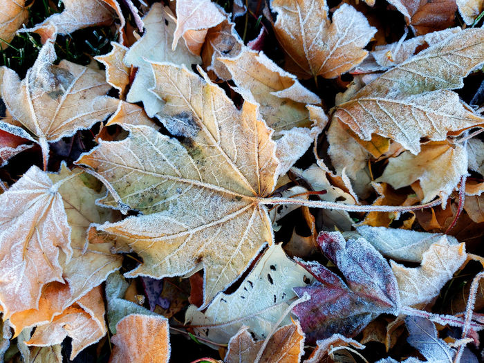 Close-up of dry maple leaves on land