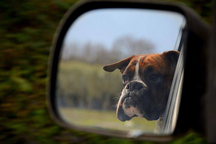 Service Animals Boxer Dogs Love EyeEm Best Shots Dog Happiness