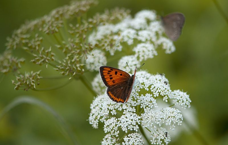 Close-up of butterfly perching on cow parsnip outdoors