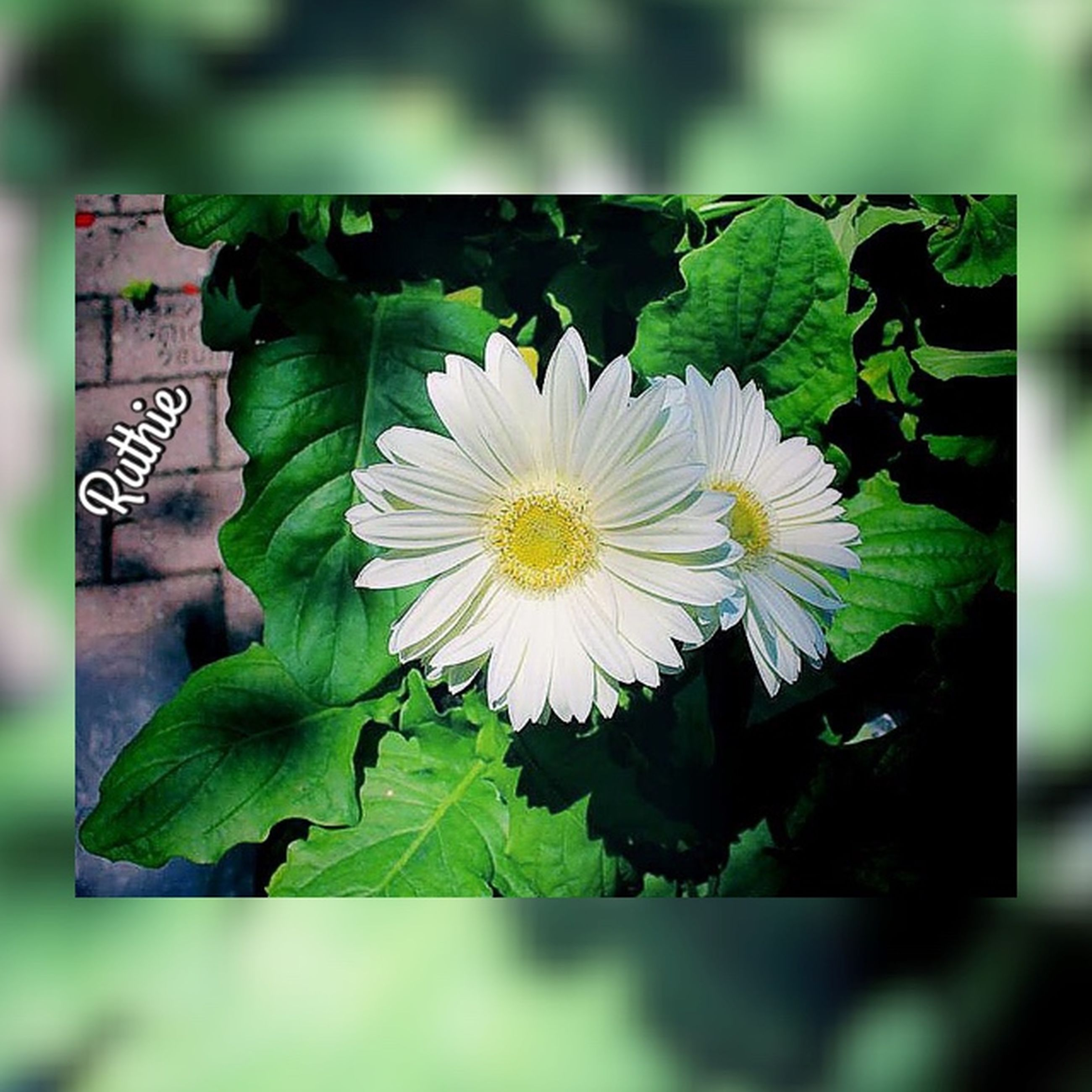 flower, freshness, petal, fragility, flower head, leaf, growth, close-up, focus on foreground, plant, white color, beauty in nature, blooming, green color, nature, single flower, day, no people, outdoors, selective focus