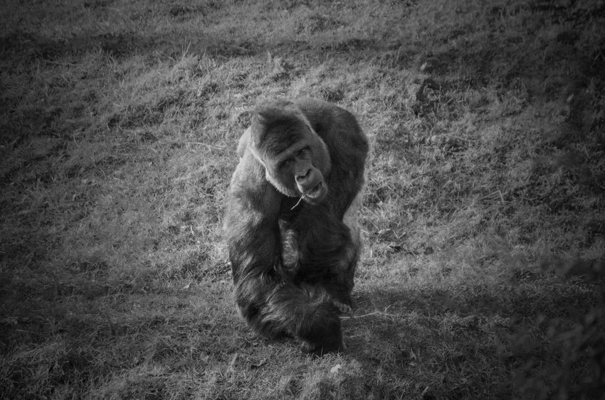 Animals In The Wild Black & White Animal Animal Themes Animal Wildlife Animals Animals In The Wild Baboon Black Black And White Black And White Photography Black&white Blackandwhite Blackandwhite Photography Blackandwhitephotography Day Field First Eyeem Photo Grass Mammal Monkey Nature No People One Animal Outdoors EyeEmNewHere Pet Portraits Inner Power