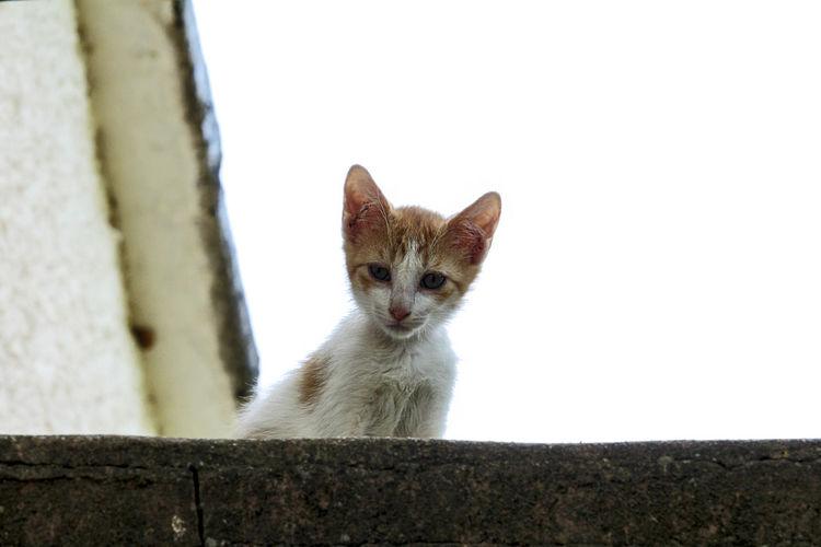 Kitten Pets Pet