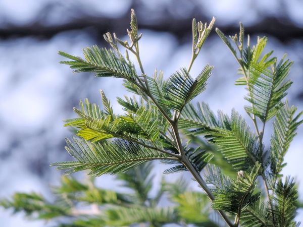 Pine Tree Nature Beauty In Nature Freshness Branch Close-up Outdoors Pinaceae Tree Flowers,Plants & Garden Autumn Colors The Great Outdoors - 2017 EyeEm Awards Plants And Flowers Plant Details Green Color Forest Collection Forest Colors Forest View Forest Photography Natural Escene Leafs Photography Plant Life Plant Photography