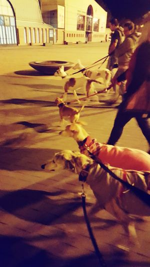 Paseo nocturo 😍 Greyhoundrescue GreyHound Love HoundDog Podenco Podenco Ibicenco
