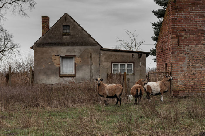 This abandoned place was only enlivened by the group of Cameroon dwarf blackbelly sheeps, Shot taken @ Groß Neuendorf, 2017-12-31 Grassland Grass Day Brick Wall EyeEm Best Shots EyeEmNewHere Rural Scene Abandoned Places Animals In The Wild Cameroon Dwarf Blackbelly Sheep Decay Abandoned Abandonedplaces Animal Themes Crumble Decaying Building Disintegrate Group Of Animals House Nature No People Outdoors Sheep