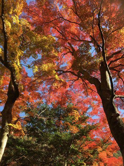 Kouyou Shousenkyou Autumn Beauty In Nature Leaf Low Angle View Maple Momiji Nature Tree