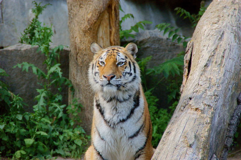 Tiger in the zoo, close-up