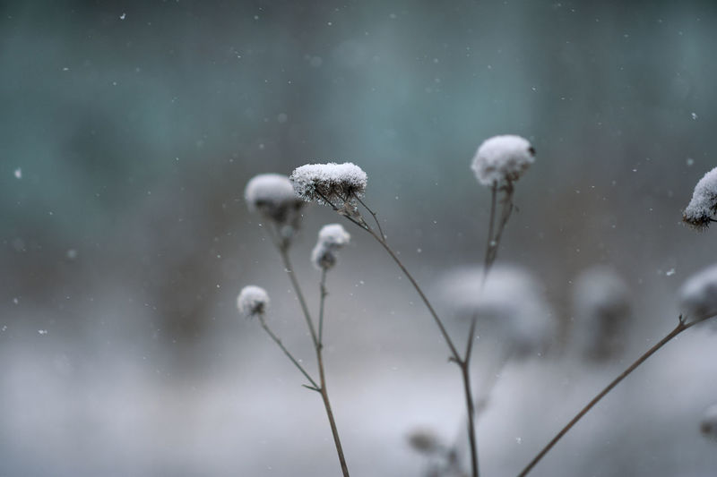 Snow on drying plants in nature