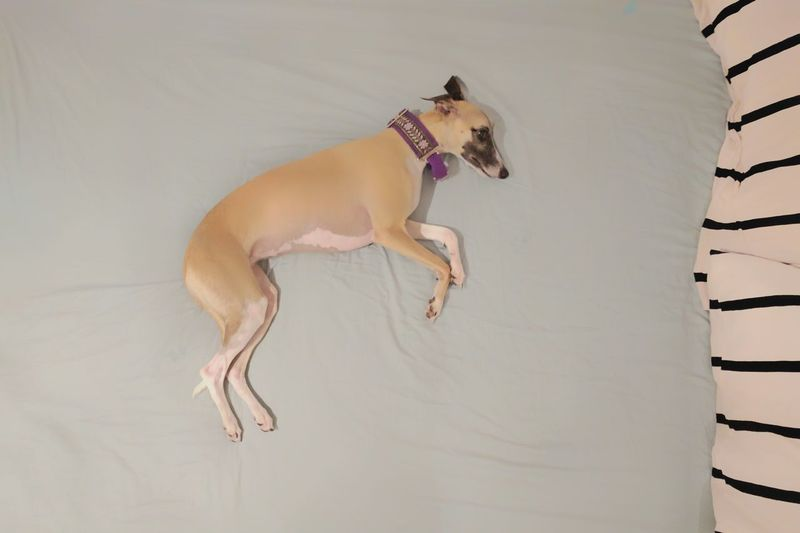 Full Length Motion Jumping One Animal Side View Dog Pastel Pet Pet Photography  Pastel Colors Resting Whippet Animal Photography